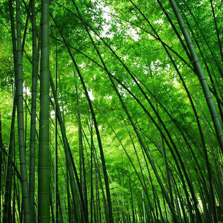 Geo nature prodotti a base di bava di lumaca for Bamboo coltivazione